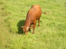 Vaca marinera Aiguamolls de l'Empordà