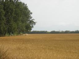 Camp de blat